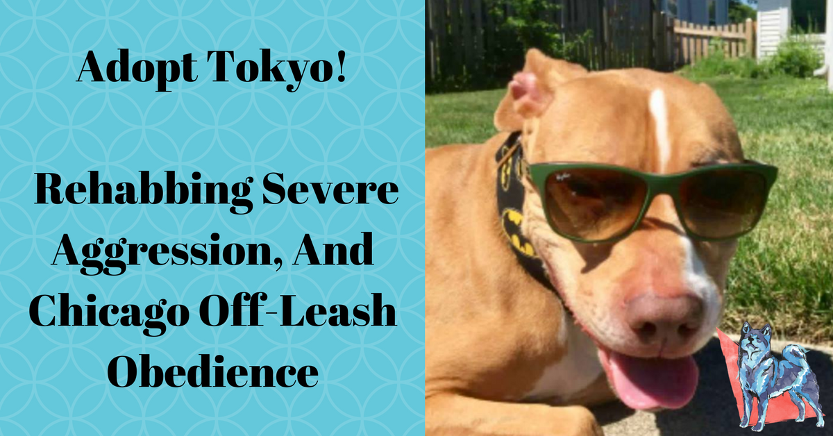 Tokyo a rehabbed pitbull available for adoption