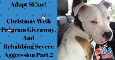 Stone a white pitbull available for adoption