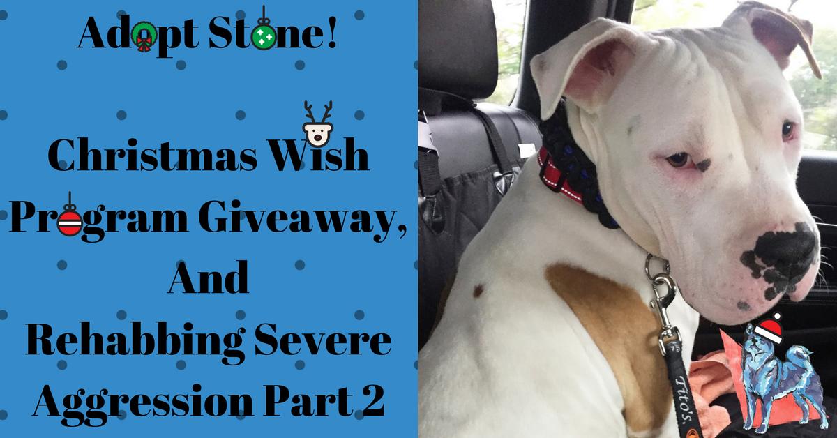 Stone a white pitbull available for adoption