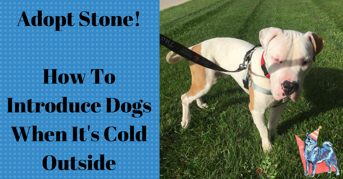 Stone the pitbull available for adoption on leash