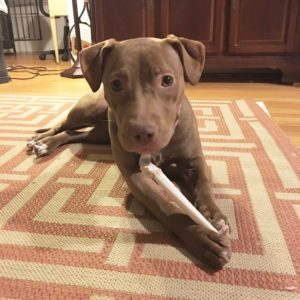 Cute 9 month old brown pitbull puppy