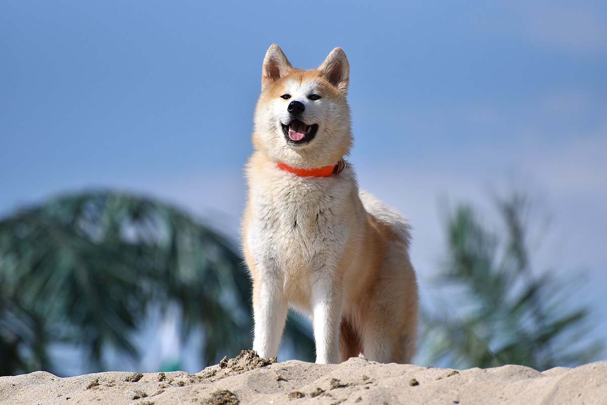 Akita dog breed fully grown