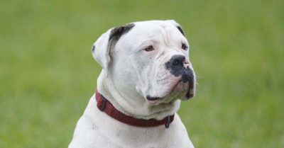 American Bulldog dog breed fully grown.