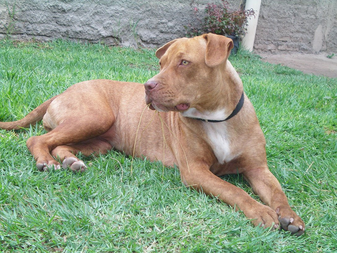 American Pit Bull Terrier dog breed fully grown.