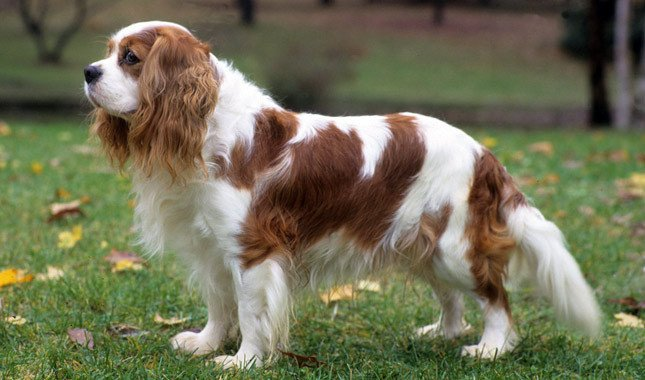 Cavalier King Charles Spaniel dog breed fully grown.