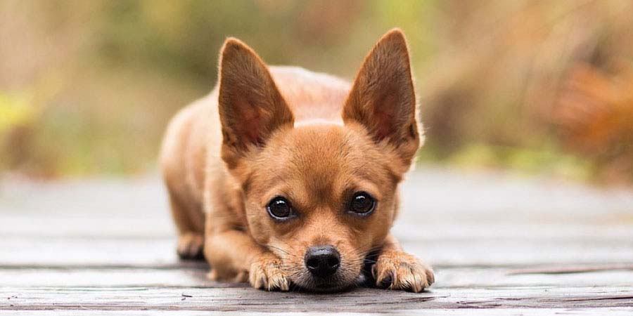 Chihuahua dog breed fully grown.