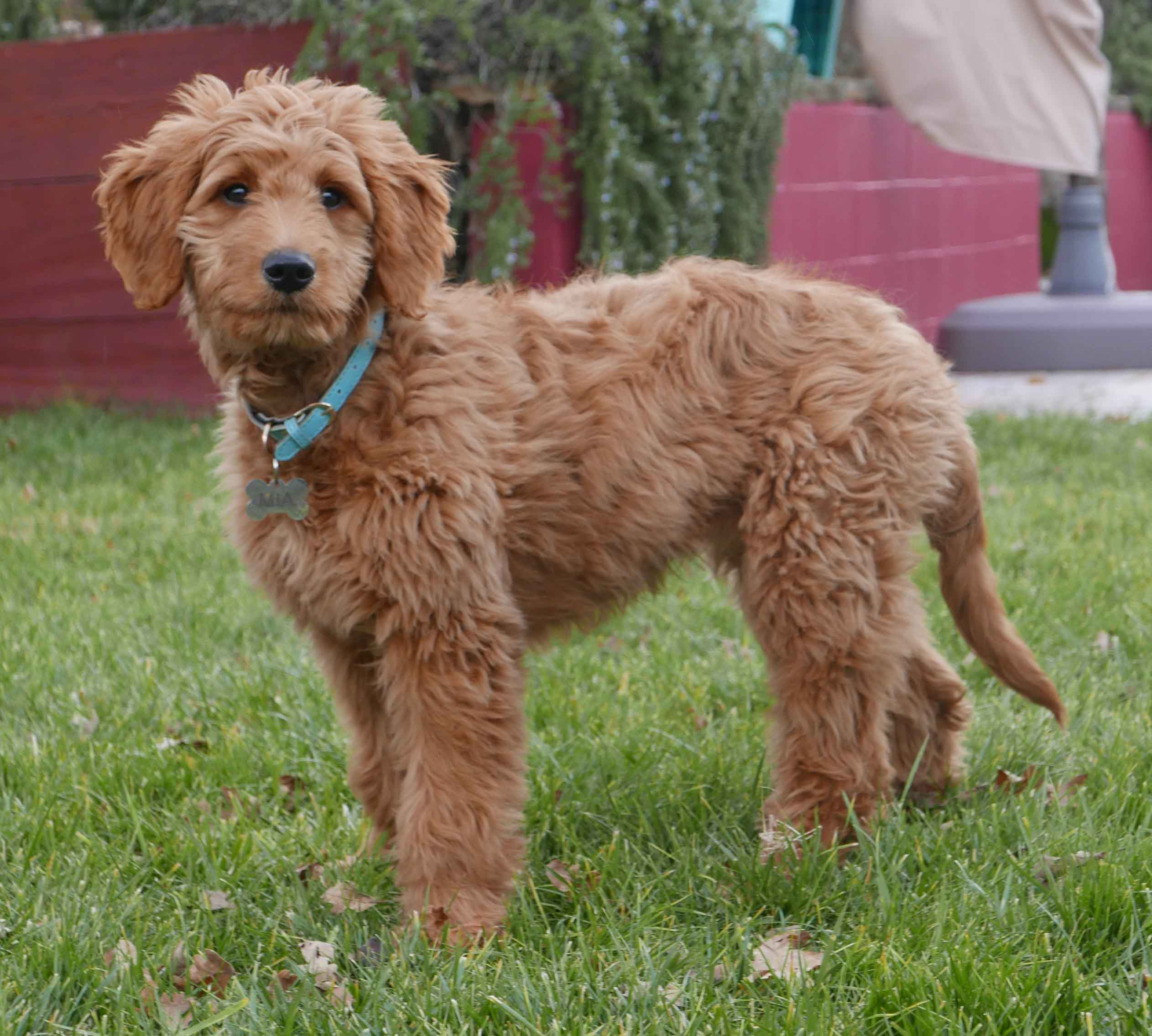 Goldendoodle dog breed fully grown.