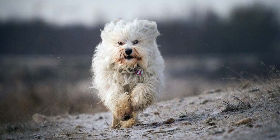 Havanese dog breed fully grown.