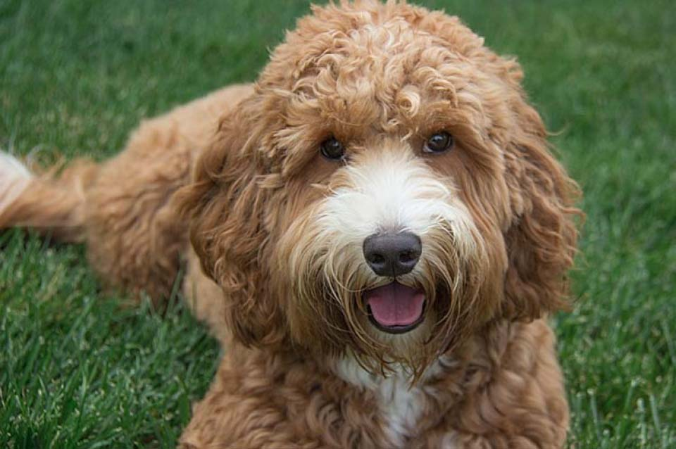 Labradoodle dog breed fully grown.