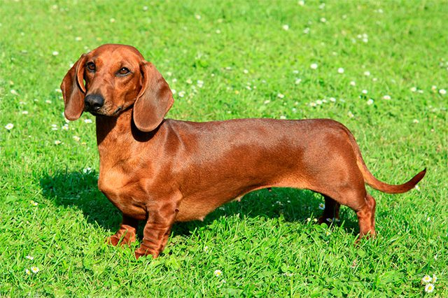 Dachshunds dog breed fully grown.