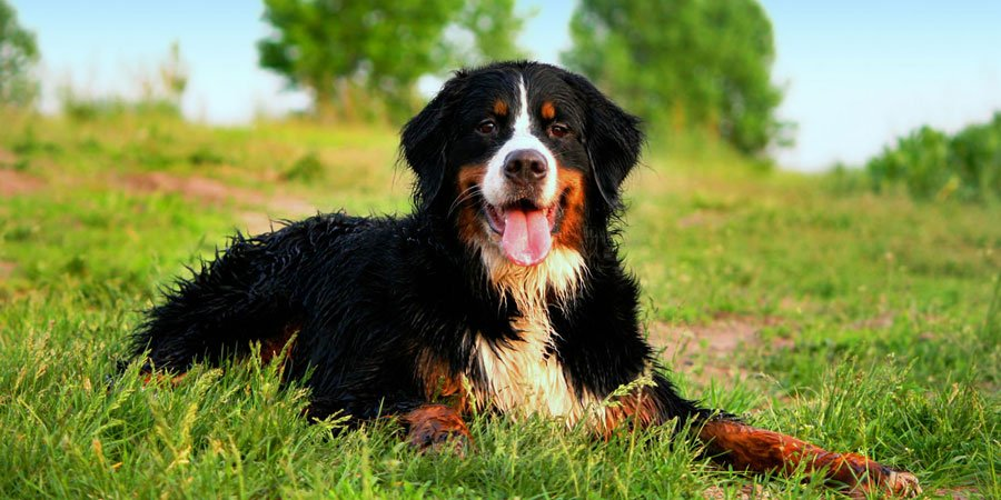 Bernese Mountain dog breed fully grown.