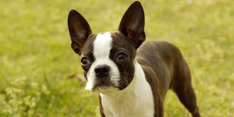 Boston Terrier dog breed fully grown.