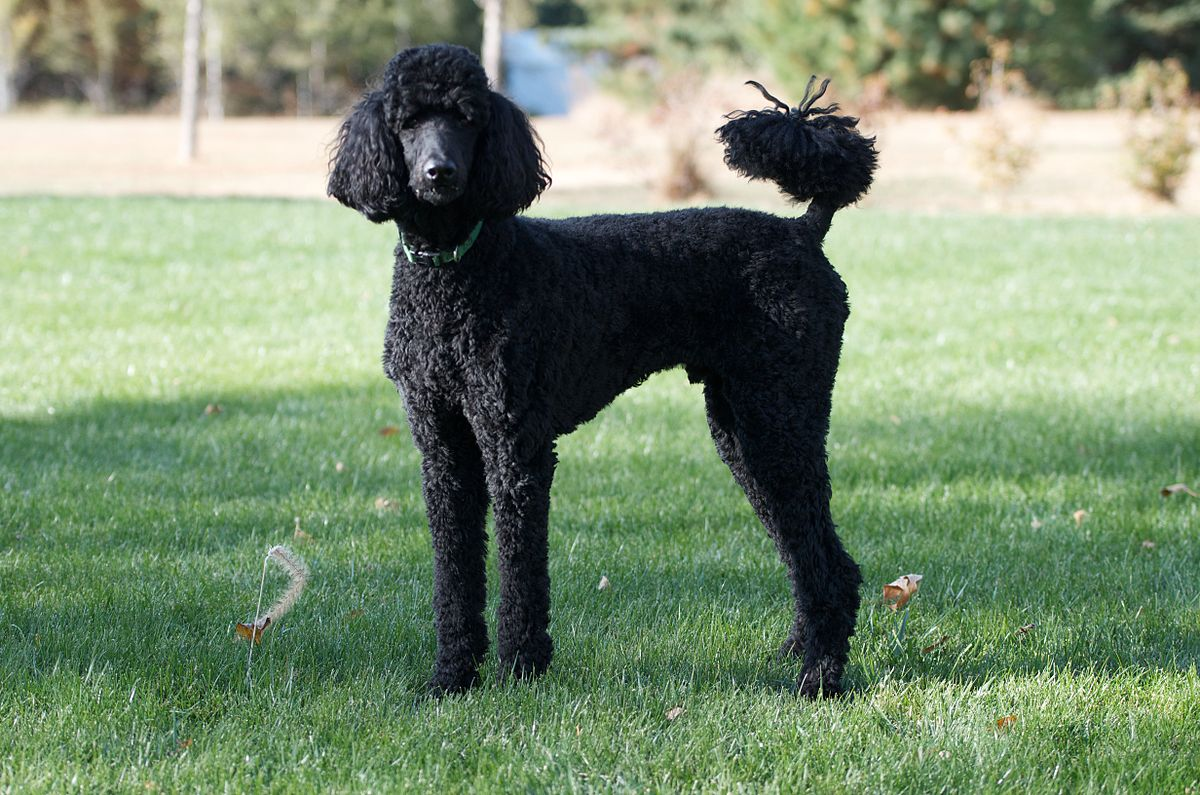 Poodle dog breed fully grown.