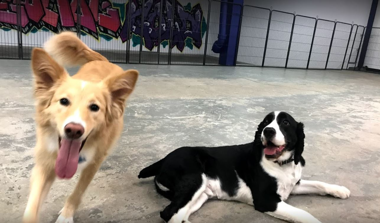 two dogs playing during daycare at Canine Perspective Chicago